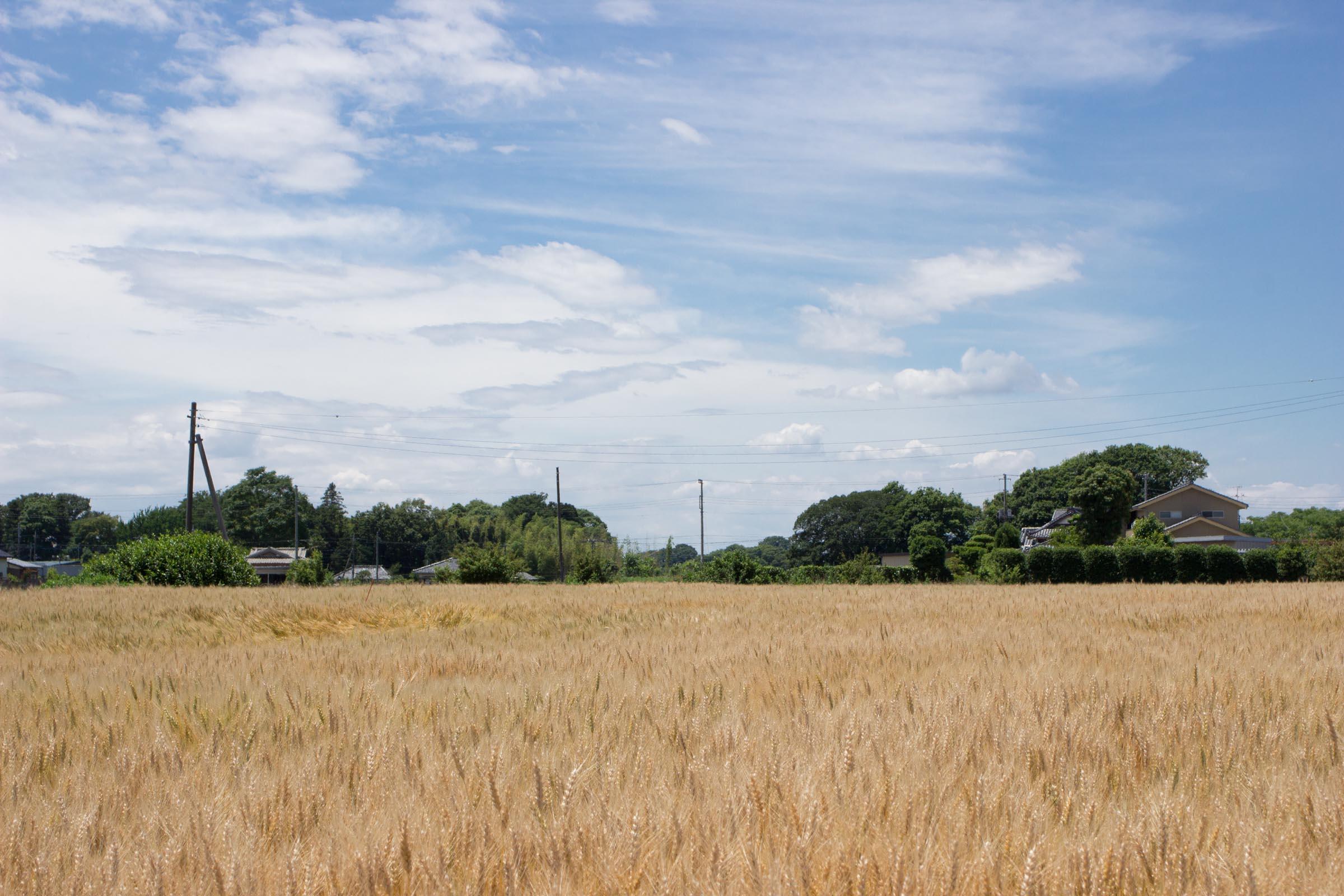 ゆめかおり小麦畑