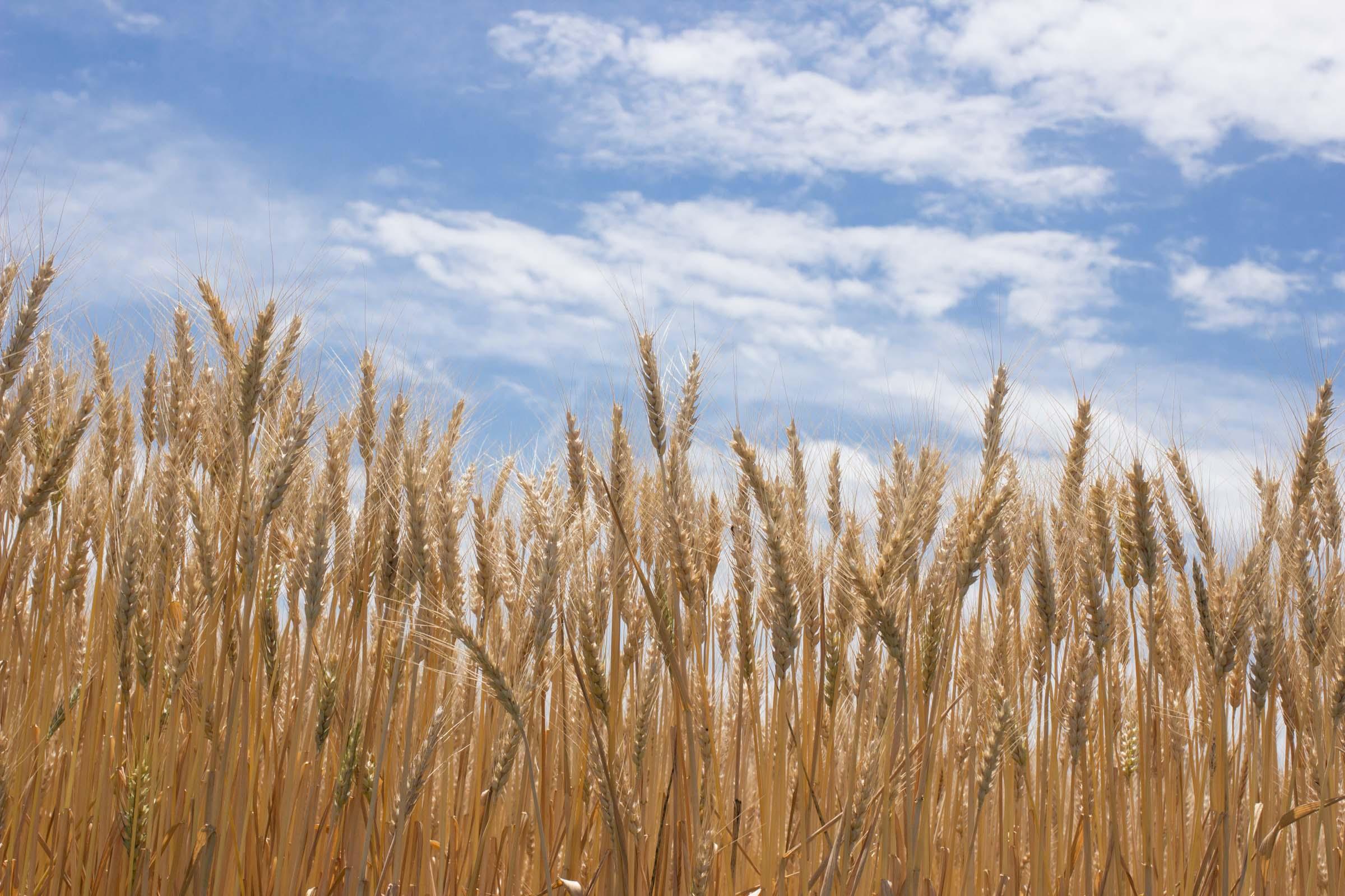 茨城ゆめかおり小麦畑見学!画像